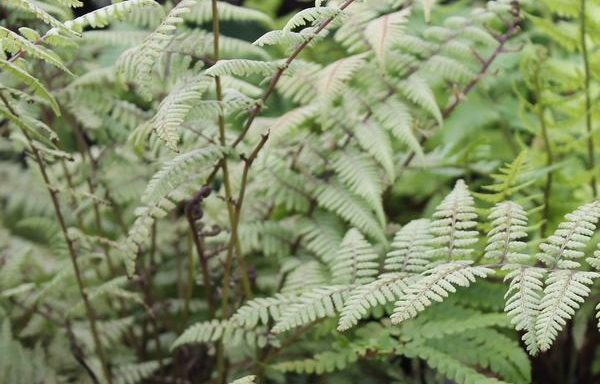 Fern Japanese Painted 'Ghost'