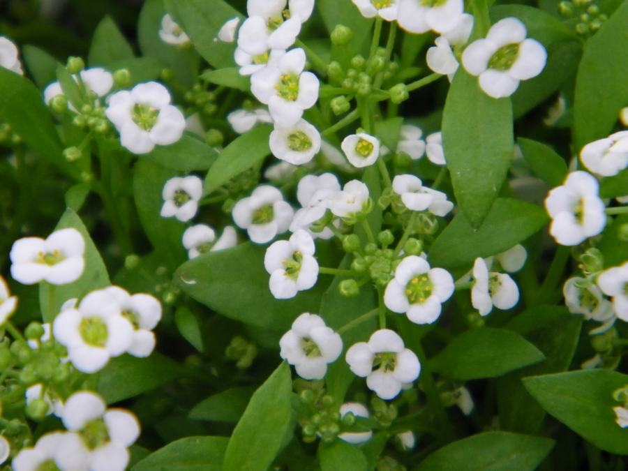 alyssum clear crystal white - Wilsons Garden Center