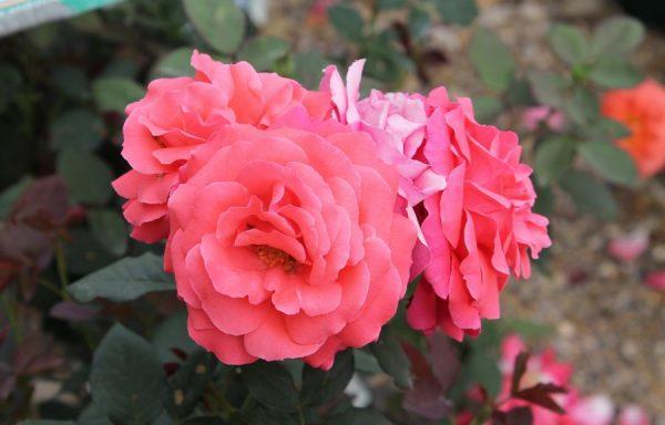 Rose 'America'