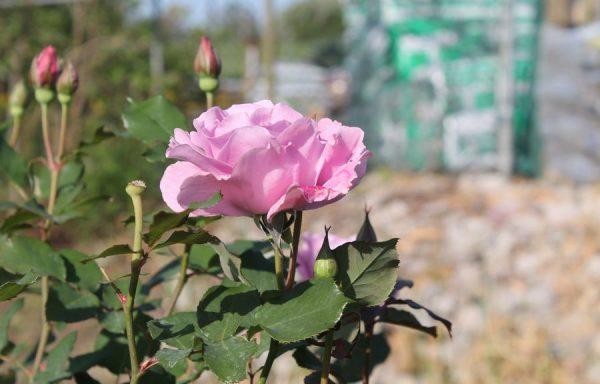 Rose 'Angel Face'