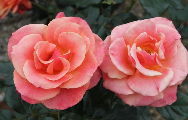 Rose 'Anna's Promise'
