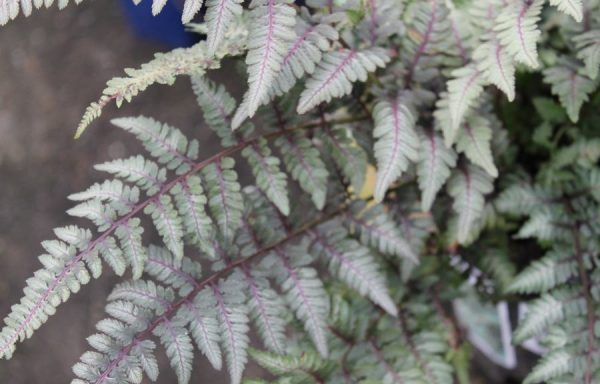 Fern 'Japanese Painted'