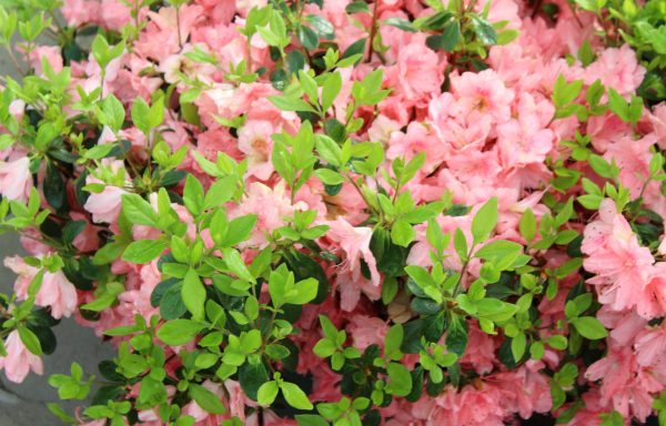 Azalea, Evergreen 'Blaauw's Pink'