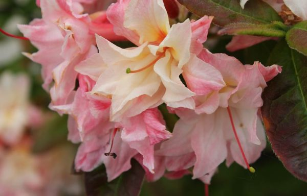 Azalea, Deciduous 'Cannon's Double'