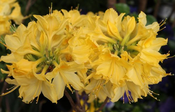 Azalea, Deciduous 'Lemon Lights'
