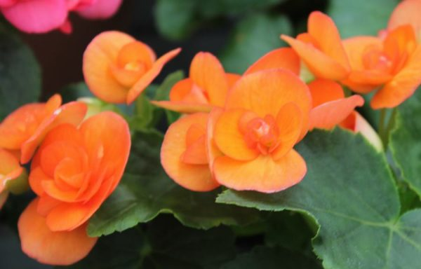 Begonia, Elatior 'Batik'