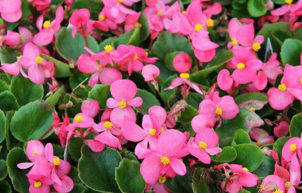 Begonia, Prelude 'Rose'