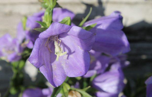 Bellflower 'Takion Blue'