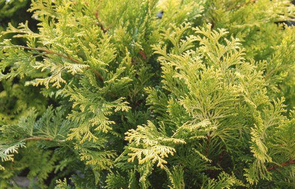 False Cypress, Hinoki 'Cripps Golden'