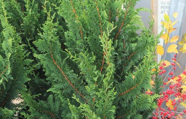 False Cypress, Hinoki 'Fernleaf'