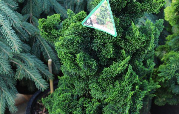 False Cypress, Hinoki 'Thoweil'