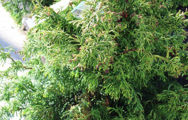 False Cypress, Hinoki 'Sunny Swirl'