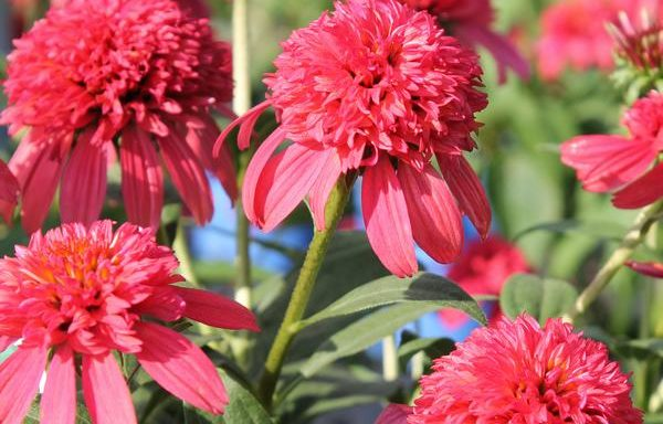 Coneflower, Double Scoop™ 'Cranberry'