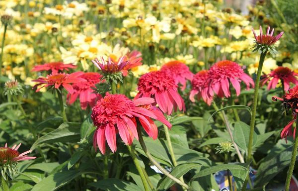 Coneflower, Double Scoop™ 'Mandarin'