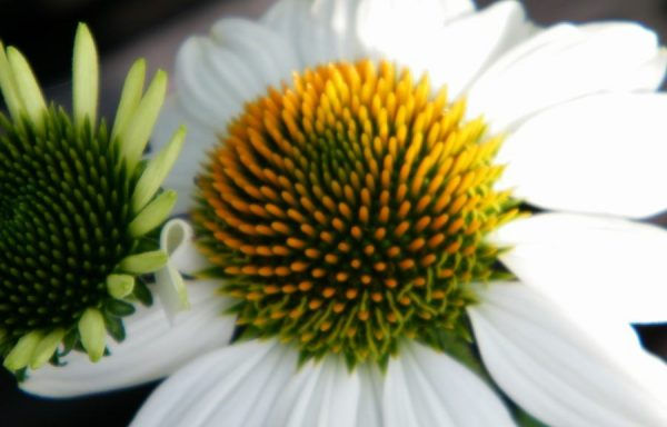 Coneflower, PowWow™ 'White'