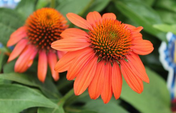 Coneflower, Sombrero® 'Adobe Orange'
