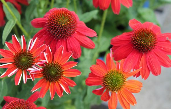 Coneflower, Sombrero® 'Salsa Red'
