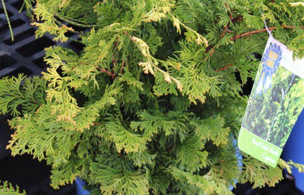 False Cypress, Hinoki 'Golden'