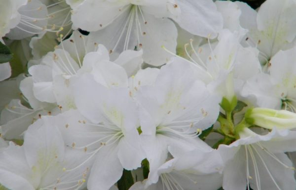 Azalea, Evergreen 'Delaware Valley White'