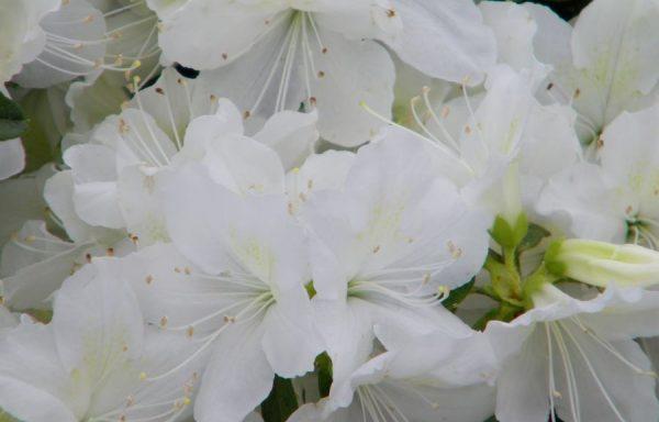 Azalea, Evergreen 'Delaware Valley White'