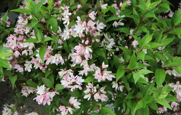 Deutzia, Yuki 'Cherry Blossom'