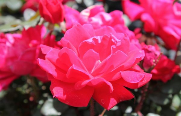 Rose, Knock Out® 'Double Red'