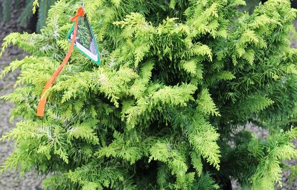 False Cypress, Hinoki 'Fernspray Gold'