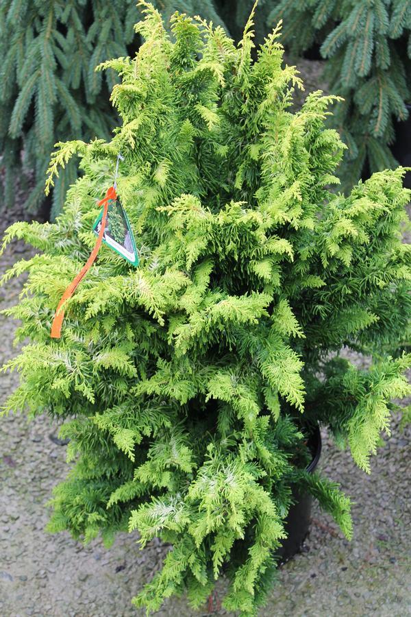 False Cypress Hinoki Fernspray Gold Wilson 39 S Garden Center