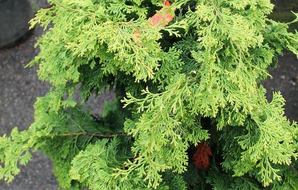 False Cypress, Hinoki 'Confucius'