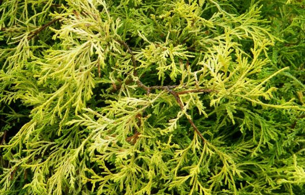 False Cypress 'Lemon Thread'