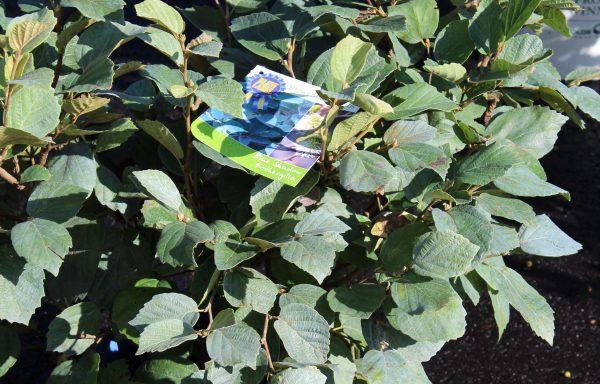 Fothergilla 'Blue Shadow'