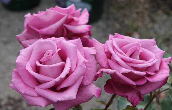 Rose 'Fragrant Plum'