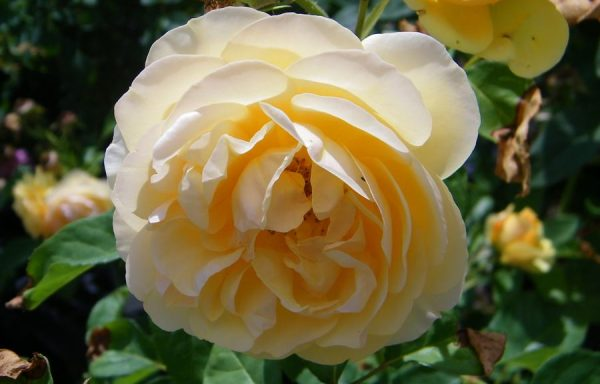 Rose 'Graham Thomas'®