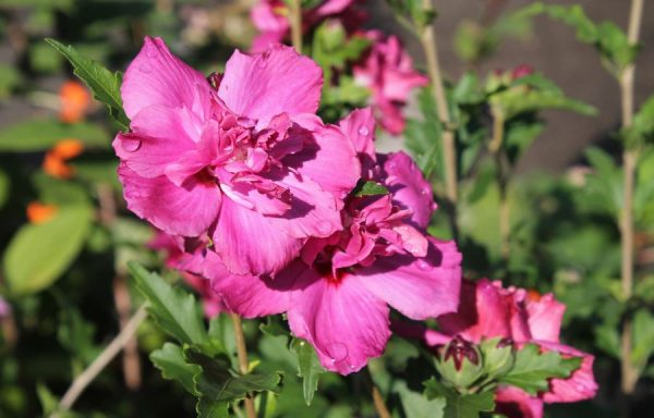 Rose Of Sharon 'Double Red'