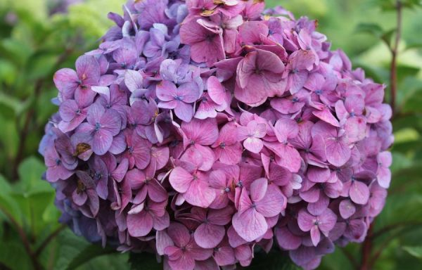 Hydrangea, Endless Summer® 'Bloomstruck'®