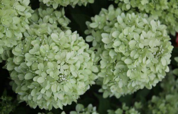 Hydrangea 'Little Lime'