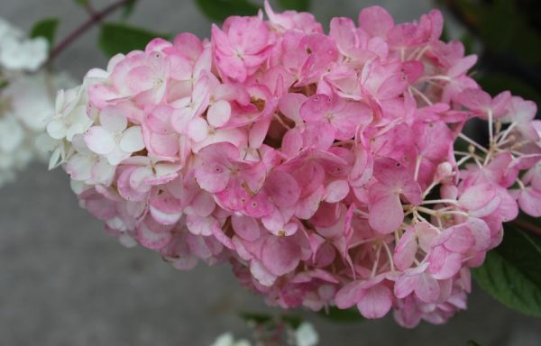 Hydrangea, Strawberry Sundae