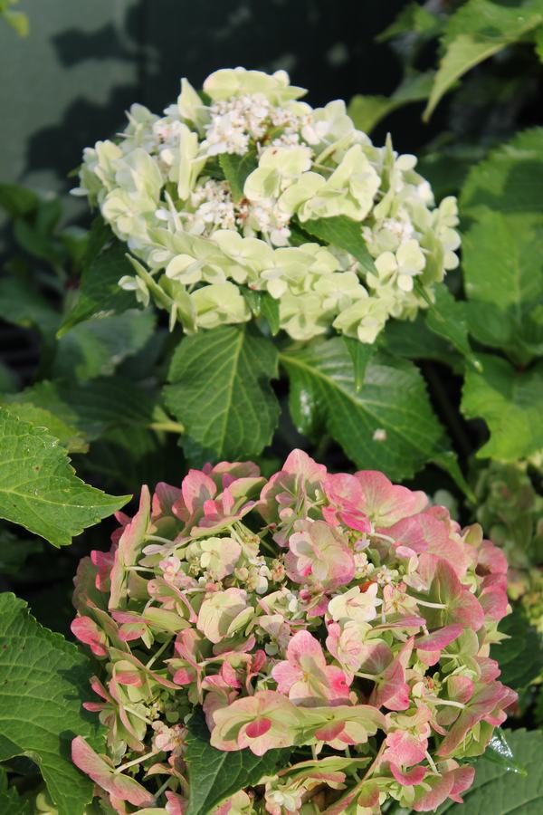 Hydrangea Wedding Gown Wilsons Garden Center