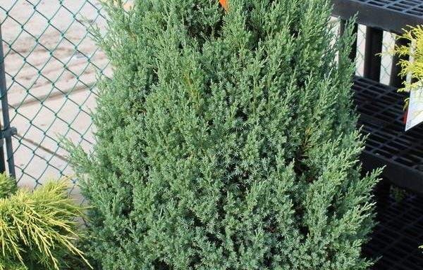 Juniper 'Blue Point'