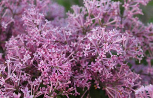 Lilac, Dwarf 'Bloomerang'
