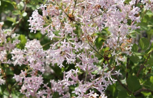 Lilac, Dwarf Korean 'Palibin'