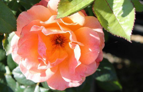 Rose 'Livin Easy'®