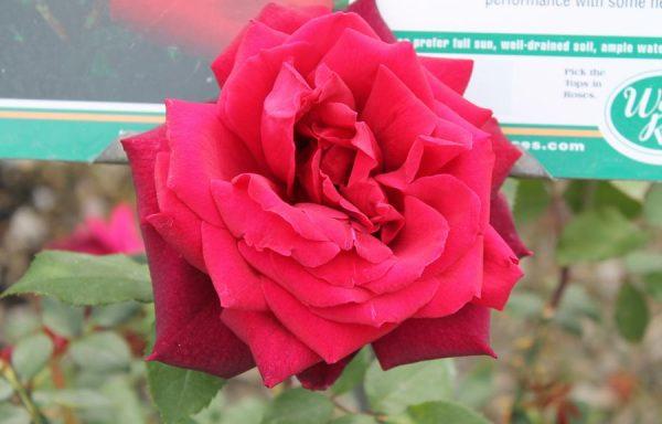 Rose 'Oklahoma'