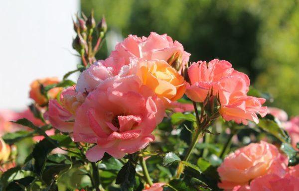 Rose, Drift® 'Peach'