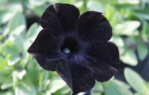 Petunia, Ray 'Black'