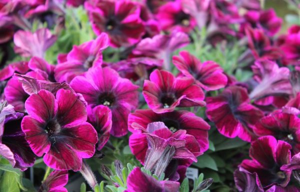 Petunia, Sweetunia 'Johnny Flame'