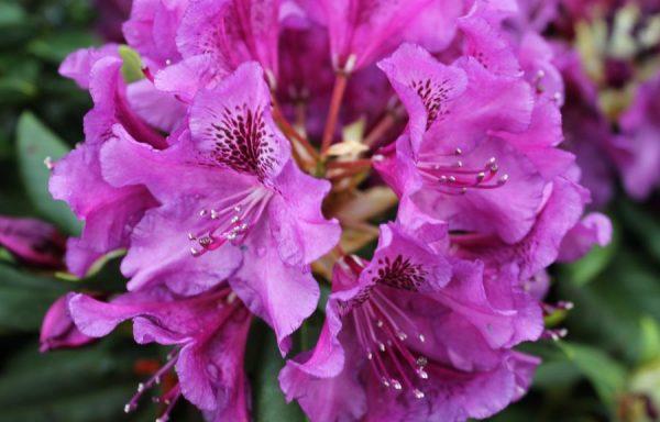 Rhododendron 'Edith Bosley