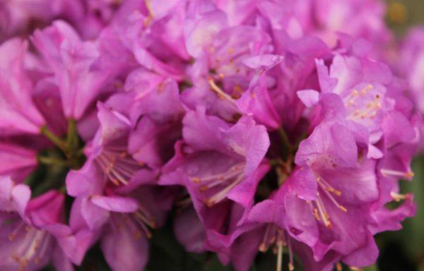 Rhododendron 'Purple Passion'