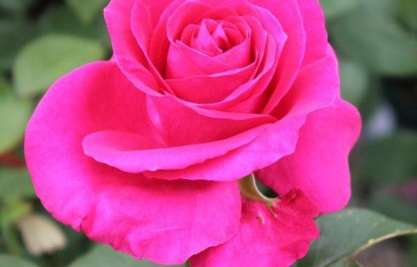 Rose 'All My Loving'