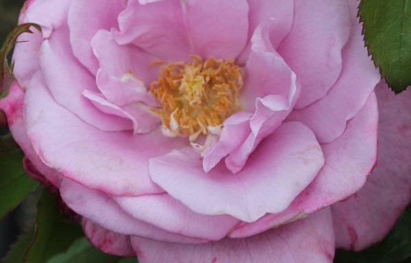 Rose 'Barbra Streisand'